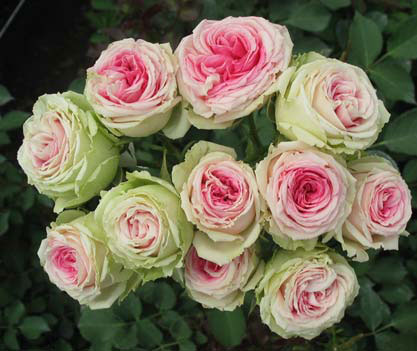Celebración de la hierba 2012 del año: 5 rosas favoritas